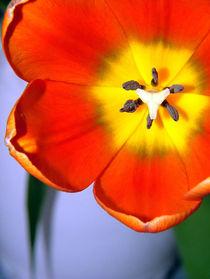 Dazzling Orange Tulip von serenityphotography