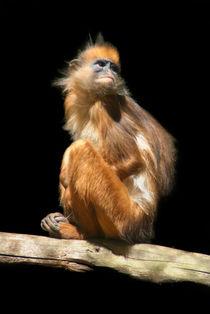 Banded Leaf Monkey von serenityphotography
