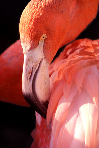 Cuban-flamingo-30
