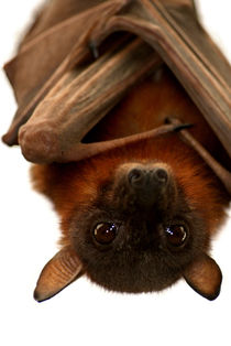 Little-red-flying-fox-12
