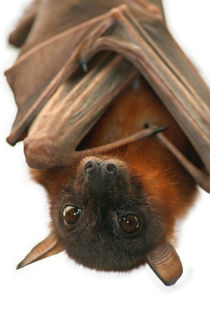Little Red Flying Fox by serenityphotography