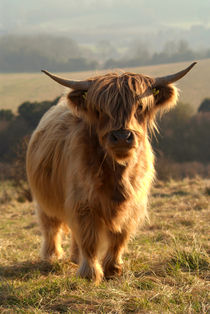 Young-highland-cow