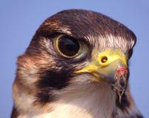 Lanner Falcon von serenityphotography