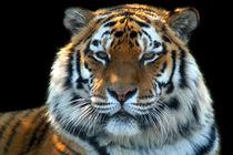 Sumatran Tiger by serenityphotography