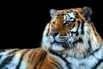 Sumatran Tiger von serenityphotography