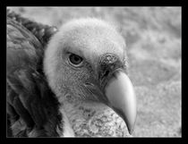 Vulture in Black & White by Mark Cowie