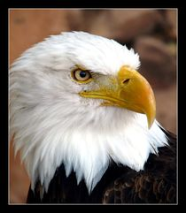 American Bald Eagle in Color (2) von Mark Cowie