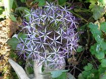 Allium by Eugen Bill