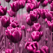 Tulpen by Violetta Honkisz