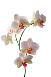 Orchid-spray