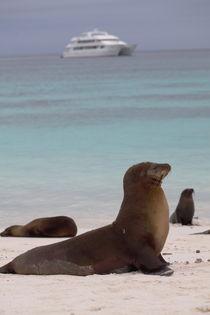 Galapagos Seelöwe von Roland Spiegler