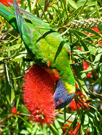 Rainbow Lorikeet And Crimson Bottlebrush by Margaret Saheed