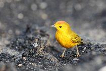 Yellow Warbler von Roland Spiegler
