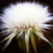 White dandelion by Jinnie Davel