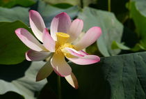 Lotus-1002-ch-druck