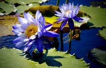 zwei blaue Seerosen von Christine  Hofmann
