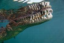 Saltwater Crocodile von Norbert Probst