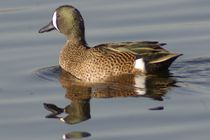 Blue-winged Teal by Pat Goltz