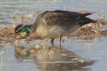 Baikal Teal by Pat Goltz