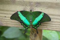 Emerald Peacock by Pat Goltz
