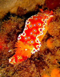 Bright Orange Nudibranch by serenityphotography