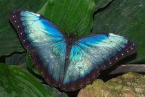 Rare Blue Morpho by Pat Goltz
