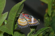 Leopard Lacewing by Pat Goltz