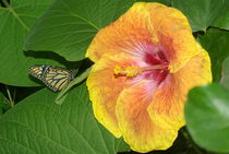 Hibiscus with Monarch Butterfly by Pat Goltz