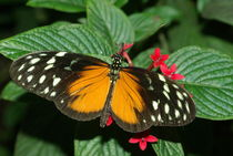 Ismenius Longwing by Pat Goltz