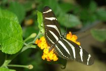 Zebra Longwing by Pat Goltz