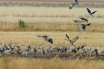 Sandhill Cranes Landing von Pat Goltz