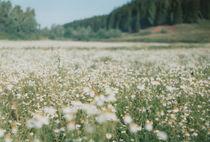 camomile field, Russia von yulia-dubovikova