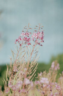 lilac flowers in the field in the country, Russia by yulia-dubovikova