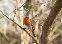 Robin Perching by Graham Prentice