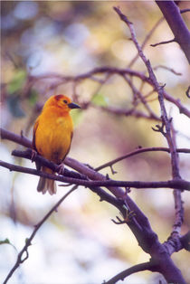 Taveta Golden Weaver by Pat Goltz