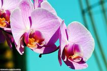 Orchideae4 by Ridzard  König