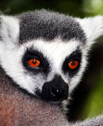 Ring-Tailed Lemur by Paul messenger