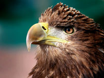 White Tailed Sea Eagle von Paul messenger