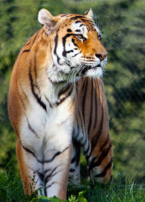 Amur Tiger  by Paul messenger