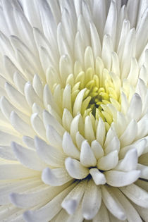 White Dahlia by Alice Gosling