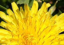 20120328-4937-2-dandelion