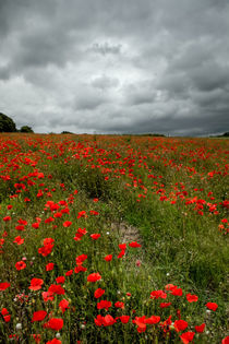 Poppies before the Storm by Alice Gosling
