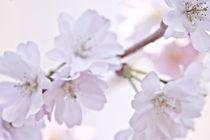 Frühlingsblüten von Katharina Weigl