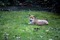 The fox von Alessandro Caniglia