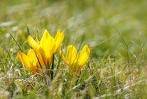 Frühlingsboten von tinadefortunata