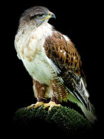 """""""Ferruginous Hawk"""" von John Biggadike"""