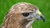 Red-tailed Hawk  von John Biggadike