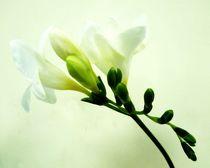 White Freesia by sharon lisa clarke