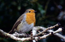 European Robin von John Biggadike
