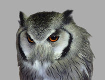 Souther-white-faced-owl